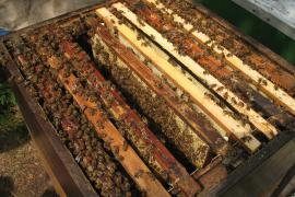 Ziekten en plagen onder bijen